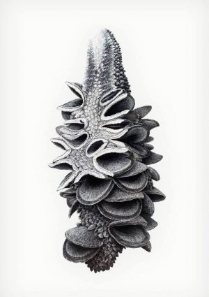 Augmented Study - Banksia