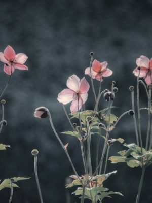 Sarah-Morton-Photography---Anenomes,-Evening